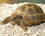 tortugas de tierra rusas