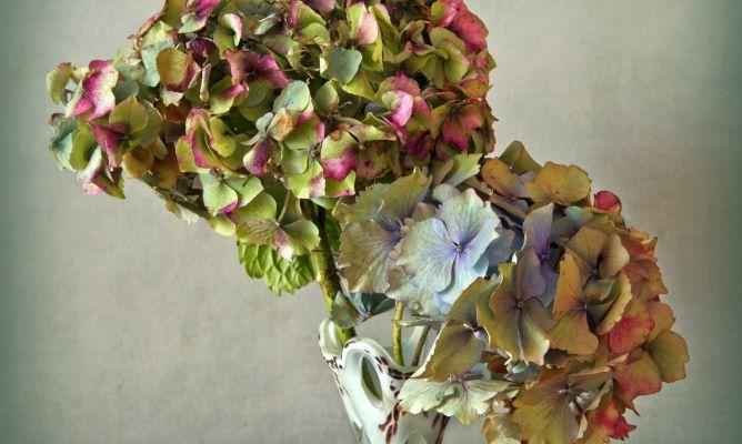 Como Secar Las Hortensias Bricomania - Color-de-las-hortensias