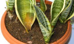 Plantar y reproducir sansevieria o lengua de tigre