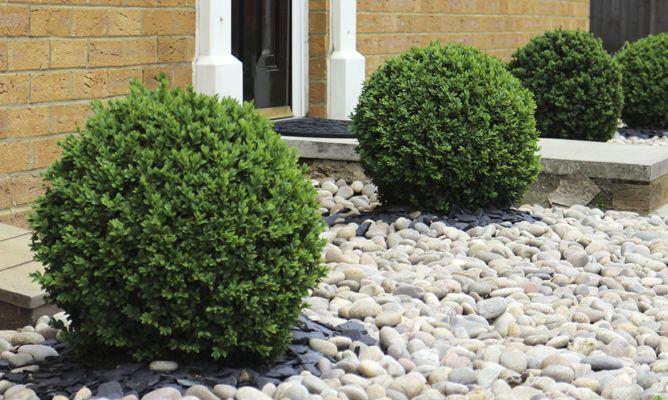 Caracter sticas del boj decogarden for Tipos de pinos para jardin fotos