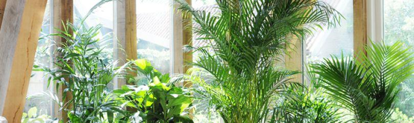 Palmeras de interior y exterior - Planta interior palmera ...