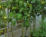 Cultivo de tomatera en bolsa