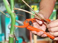 Costilla de adan planta reproduccion asexual