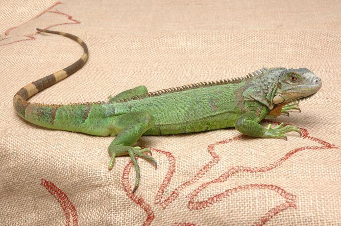 reptiles, iguana verde