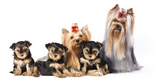Yorkshire Terrier Raza Perro Mascotas Hogarmania