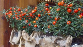 Tomatillo de jerusalén