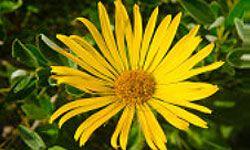 árnica planta medicinal