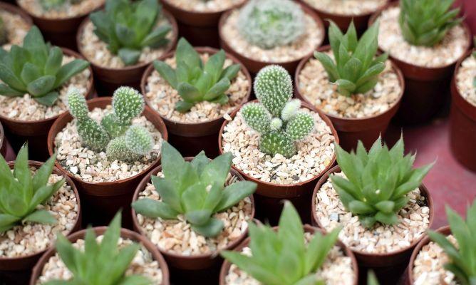 Hacer un jard n en miniatura con plantas crasas bricoman a for Matas de jardin