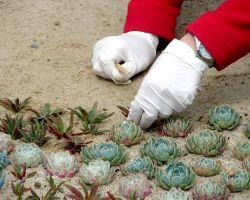 Cómo reproducir plantas crasas mediante esquejes