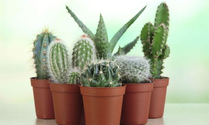C mo reproducir plantas crasas mediante esquejes bricoman a for Planta ornamental que se reproduzca por esquejes