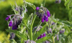 consuelda planta medicinal