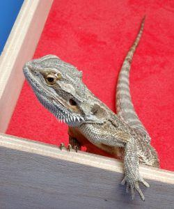 dragón barbudo