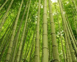 Especies de bambú