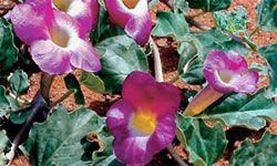 harpagofito planta medicinal