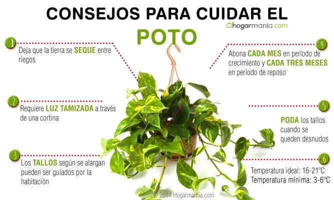 Cuidados del poto hogarmania for Abono para plantas de interior