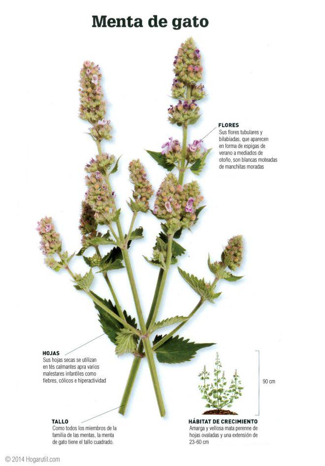 Menta de gato planta medicinal digestiva hogarmania - Hogarutil plantas ...
