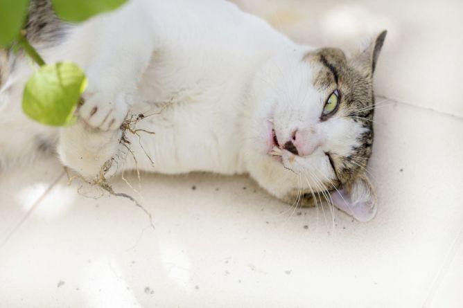 planta menta de gato