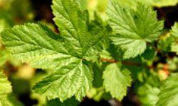ulmaria planta medicinal