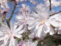 Magnolios de flor primaveral