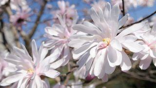 """Magnolia kobus """"rosea"""""""