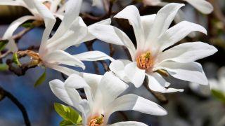 """Magnolia kobus """"estellata"""""""