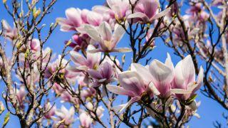 MAgnolia soulangeanas rose