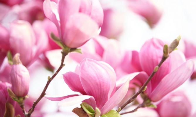 Magnolios de flor primaveral decogarden - Cuidados del magnolio ...