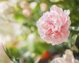 flores Todos los Santos - clavel