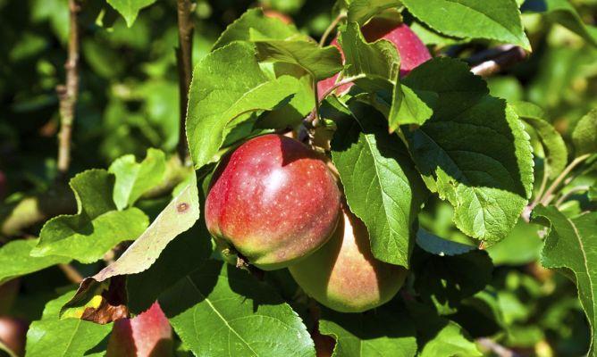 cultivar un manzano en maceta - hogarmania