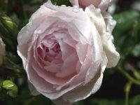 Plantas con flores en malva y rosa