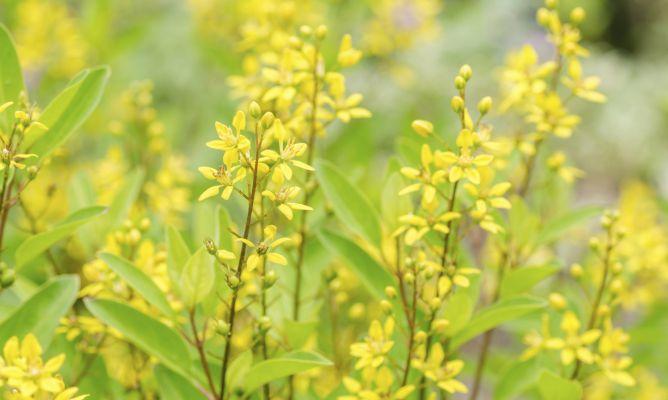 Plantas de follaje amarillo decogarden for Follaje para jardin
