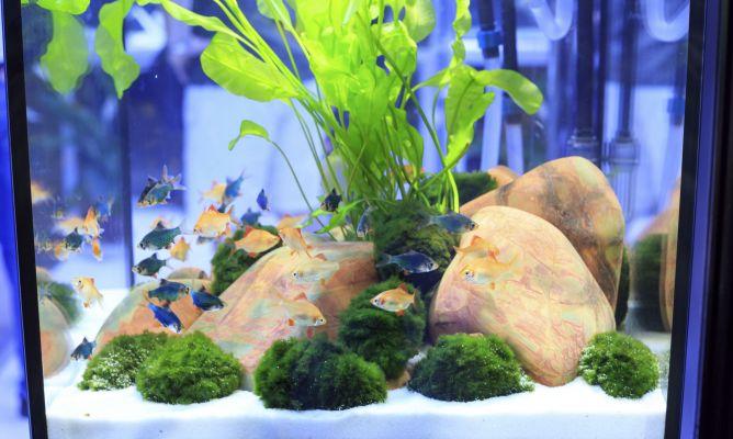 Acuario para peces tropicales de agua dulce hogarmania for Fuentes de agua con peces