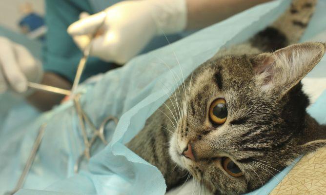 Resultado de imagen para esterilización gato