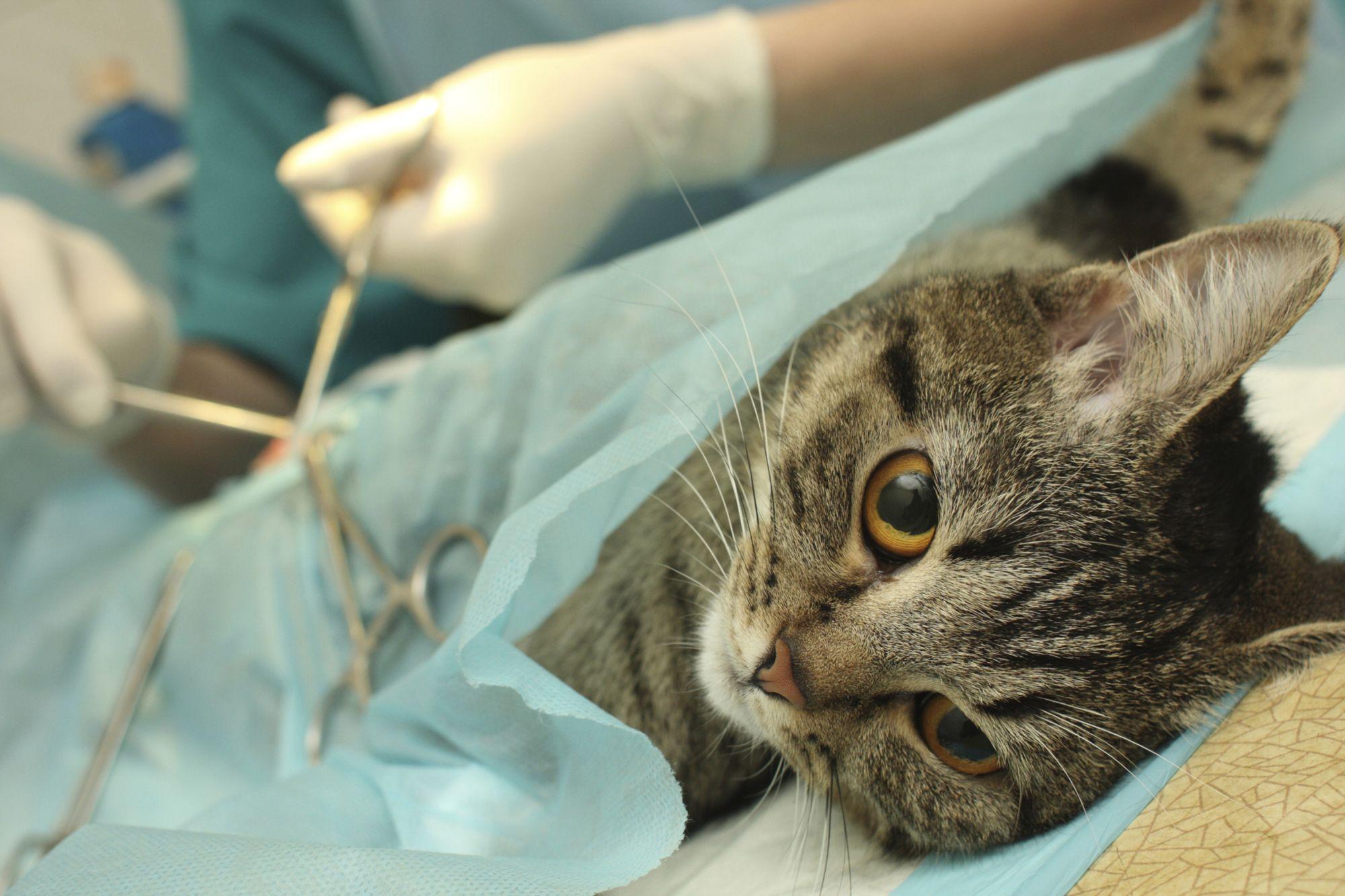 castración gato
