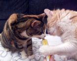 malta gatos
