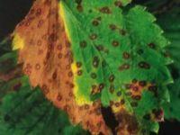 Mancha foliar del fresal