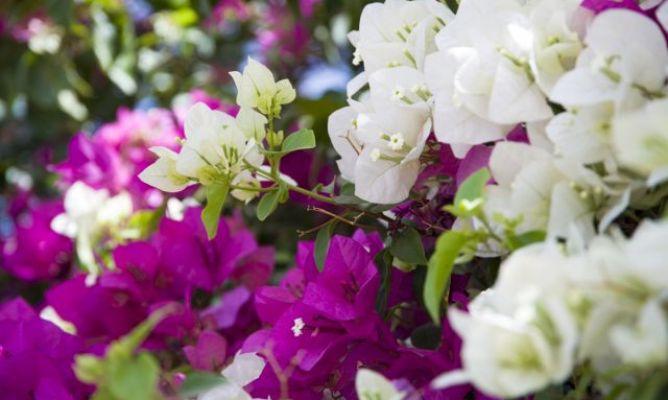 Cuidados de la buganvilla hogarmania - Hogarutil plantas ...