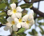 aromas afrodisíacos - jazmín