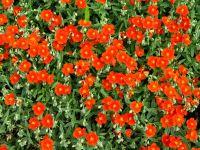 Plantas de porte rastrero para decorar