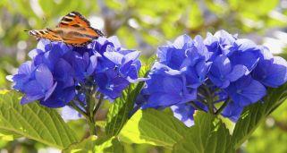 Tipos de hortensias y plantaci n bricoman a - Cuando podar las hortensias ...