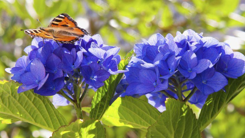 El Color De Las Hortensias Hogarmania - Color-hortensia