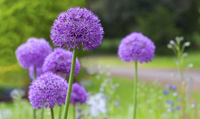 Ajo ornamental hogarmania - Hogarutil plantas ...