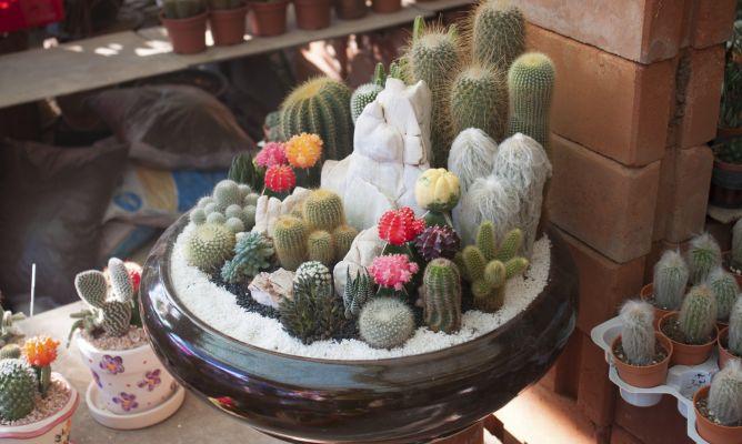 Enfermedades m s comunes en cactus y plantas crasas - Composiciones de cactus ...