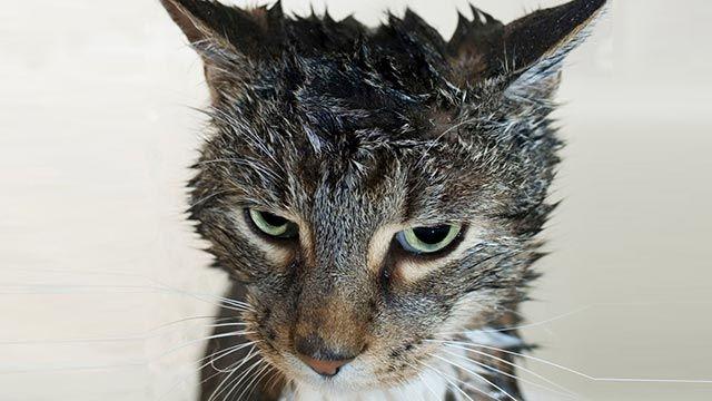 Gato mojado 10