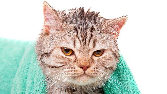 Gato mojado 4