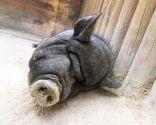 animales perezosos - cerdos