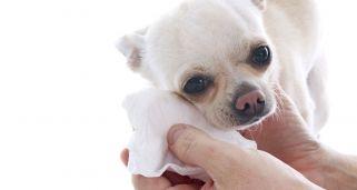 Cuidado facial de perros y gatos de piel o pelo blanco