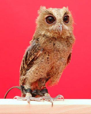 aves rapaces nocturnas - Autillo indio