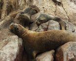 animales perezosos - leones marinos