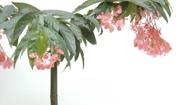 Resultado de imagen para Begonia Tamaya Rosa